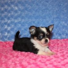 Chihuahua Puppies For Sale Puppyspot Chihuahua Puppies For