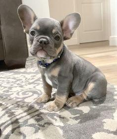 Cute Bulldog Puppies, Super Cute Puppies, Cute Bulldogs, Cute Baby Dogs, Cute Little Puppies, Cute Dogs And Puppies, Cute Little Animals, Cute Funny Animals, Frenchie Puppies