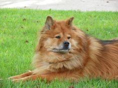 My dog Meeko. Part German Shepard/Chow.