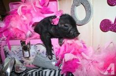 Oink-tastic News! Our teeny tiny baby piglets have arrived!!! Visit our piggy nursery at www.oinkoinkminipigs.com and get all the OINKIN? facts on adopting your mini piggy today! Valentine?s Day special offer, 50% off shipping cost to your nearest airport ($175 Value). Includes: Airfare Transportation Fee, Health Certificate/State Permit ( if required), New Animal Crate and Breeders Travel Expenses.