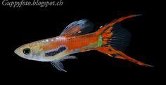 Guppyfoto: Red Scarlet Endler male  x Coral Red DS Guppy fema...