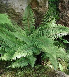 Polystichum setiferum: for the area outside your studio, under the tree fern. Ferns don't mind full shade and they'll make a lovely lush view from that big window. Tree Fern, Side Garden, Gras, Native Plants, Garden Planning, Garden Inspiration, Evergreen, Garden Plants, Plant Leaves