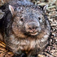 Wombat, Taronga Zoo - Dubbo