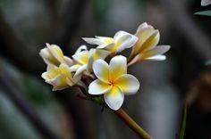 Plumeria by Ravi S R on 500px