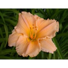 Daylily Our Anniversary