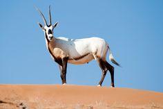 Oryx in #RasAlKhaimah #UAE