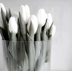 As an additional bonus, a number of the Fosteriana Tulips are fragrant. Place it into a suny window and in a couple of weeks you'll have Tulips blooming in the center of winter. Aesthetic Colors, Flower Aesthetic, White Aesthetic, My Flower, Fresh Flowers, Beautiful Flowers, White Tulips, White Flowers, White Tulip Bouquet