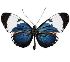 Heliconius cydno galantus (Costa Rica) A- Butterfly Drawing, Butterfly Pictures, Butterfly Watercolor, Watercolor Art, Beautiful Bugs, Beautiful Butterflies, Vintage Butterfly, Bugs And Insects, Belle Photo