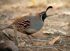 Gambell's Quail male