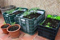 Lechuga,  maíz dulce, pepino, porotos, incluso pimentones y berenjenas, son posibles de cultivar en nuestro propio jardín. Aprende como.