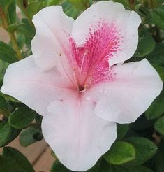Check out our comprehensive Encore Azalea guide and choose the best variety for your landscape or garden needs! Buyers Guide, Azaleas Landscaping, Bellisima, Landscape, Garden, Plants, Scenery, Garten, Lawn And Garden