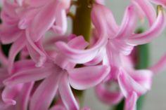 Blühende Hyazinthe