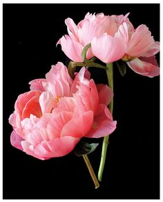 Two+Pink+Peonies+I+by+gabyburger+on+Etsy