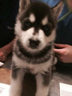 Husky Puppies For Sale, Siberian Husky Puppies, Dogs For Sale, Husky Puppy, Dogs And Puppies, My Little Girl, Blue Eyes, Dog Breeds, Wolf