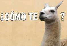 """Story of the name Llama. Spaniards asked the Incas """"Como se Llama"""" (What's the name) regarding the name of the animal. Since the Incas did not understand Spanish, they repeated Llama? so the Spaniards took Llama as the name of the animal. Funny Spanish Memes, Spanish Humor, Spanish Posters, Lol, Haha Funny, Funny Stuff, Funny Things, Funny Shit, Funny Humor"""