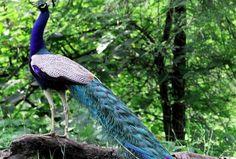 peacock white blue - Google Search