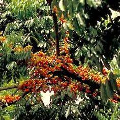 Black bean (Castenospermum australe)