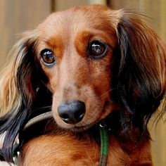 Dachshunds have the most soulful eyes...