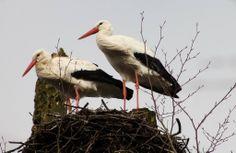 De groene wereld: Ooievaarspaartje op een nest in Park Vijversburg bij Tytsjerk, ook wel Bos van Ypey genoemd. Is een van de mooiste plekjes in Friesland, ik kom er in alle seizoenen, al generaties lang zijn mensen welkom in Park Vijverburger en altijd zijn de eeuwenoude bomen onze stille getuigen. Ook deze Ooievaars, zijn ieder jaar weer aanwezig. 19-februari-2014.