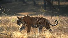 One of the two tigers that was seen during the spotting rides.