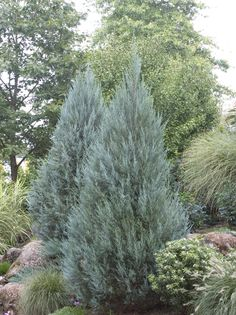 Moonglow Juniper - Monrovia - Moonglow Juniper; privacy screen