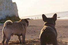 Pug+ corgi Corgi Pug, Pugs, Pug Life, French Bulldog, Labrador Retriever, Animals, Labrador Retrievers, Animales, Animaux