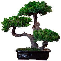 Bonsai… Preserved Monterey Bonsai Plant III   Grapewood and Juniper