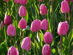 Excited to see your spring bulbs bloom? Try these top tips to prevent animals from eating your spring bulbs. Pink Tulips, Tulips Flowers, Colorful Flowers, Spring Flowers, Beautiful Flowers, Flowers Nature, Spring Flowering Bulbs, Spring Bulbs, Planting Bulbs