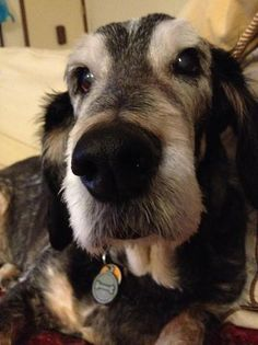 5 years ago this old dog was next in line at a kill shelter, everyone meet the adorable Bernie! Bernie is a Grand Basset Griffon Vendeen, more commonly referred to as a GBGV. Love Pet, I Love Dogs, Big Dog Little Dog, Dog Shots, Old Dogs, Family Dogs, Dog Care, Beautiful Dogs, Partner