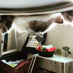 Hide and seek#cats #kitten #lovecats #ragdoll #chinchilla #Persian #kitten #meow #lovecat
