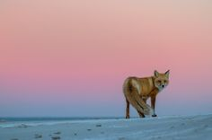 Red Fox. Island Beach State Park, New Jersey. Photography by Darion Jackman.