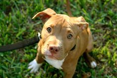 Lilly- red nose Pit Bull