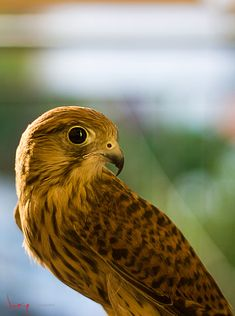 Falcon by Iosif Giannakopoulos / 500px