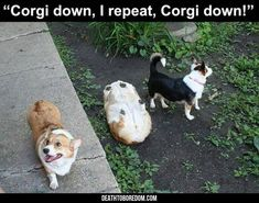 Funny Animal Pictures Of The Day - 16 Images #corgipictures
