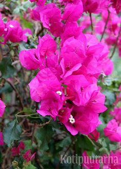 Ihmeköynnös (Bougainvillea), Bergianska Trädgård, Tukholma. Bougainvillea, Garden, Flowers, Plants, Garten, Lawn And Garden, Gardens, Plant, Gardening