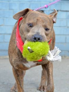 TO BE DESTROYED - 10/29/14 Brooklyn Center-P My name is POWER. ** ADDITIONAL PHOTO** My Animal ID # is A1018530. ***$150 DONATION to NEW HOPE RESCUE that pulls!!*** I am a male br brindle and white pit bull mix. The shelter thinks I am about 4 YEARS old. I came in the shelter as a STRAY on 10/24/2014 from NY 11212, owner surrender reason stated was STRAY.