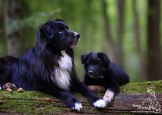 Aussie Dogs, Australian Shepherd Dogs, Adorable Dogs, Special Girl, Aussies, Puppy Love, Dogs And Puppies, Lab, Cute Animals