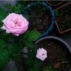 Photographs, Rose, Flowers, Plants, Garden, Pink, Garten, Photos, Roses
