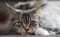 7 Fun Facts About Maine Coon Cats #cats #mainecoon