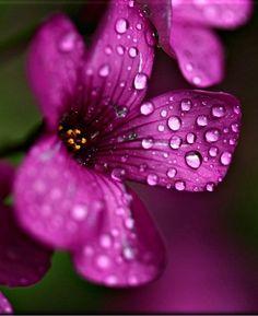 Rain Drops on Flower