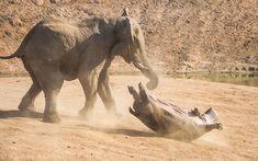 un elephant retourne un hippopotame avec sa trompe 3   Un éléphant retourne un hippopotame avec sa trompe   trompe photo image hippopotame e...