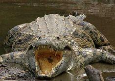 Los cocodrilos no pueden mover (ni menos sacar) la lengua. Está adherida a la mandíbula inferior