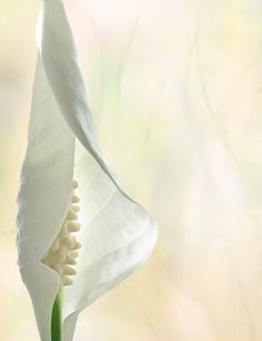 """""""Peace Lily ½"""" by John Poon"""