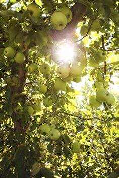 Apple trees produce delicious fruit with a sweet pulp and crisp flesh. Depending on the species, apple trees grow in U.S. Department of Agriculture plant hardiness zones 4 through 9, and are ...