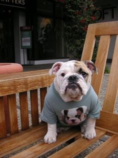 bulldog in a shirt with a bulldog in a shirt
