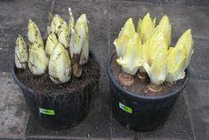 24) Witlof kweken – sjeftuintips Grow Your Own Food, Plantar, Culture, Container Gardening, Celery, Baked Potato, Cabbage, Potatoes, Baking