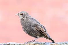 Starling fledgling from my backyard. Many of them visit in spring. They line up on the wall waiting to be fed by their parents. There can be as many as 60 or so Starlings visiting at once witch is quite the spectacle. Common Starling, Waiting, Witch, Parents, Backyard, Birds, Spring, Wall, Nature
