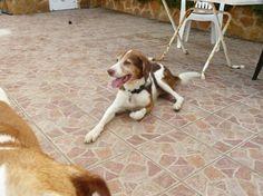 Sami & Lusi 2009, #braque #st.germain # pointer #puppy #pet #haustier #love #family #member #trauer #regenbogen #rainbow