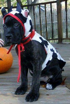 halloween cane corso