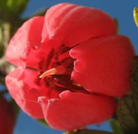 Crinodendron hookerianum [Family: Elaeocarpaceae] -Looking into the Flower from Below